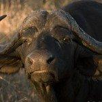Laura Will: Vergaderen over wolven en buffels bij de NOS